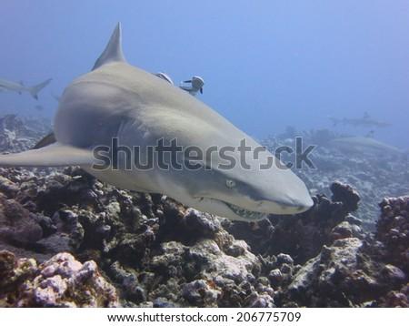 Lemon shark, scuba diving Tahiti. - stock photo