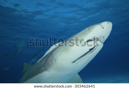 LEMON SHARK SWIMMING MOUTH OPEN IN THE WATER OF BAHAMAS