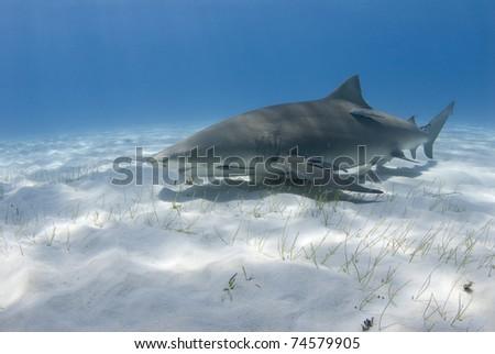 Lemon Shark swims across the sand in the ocean. - stock photo
