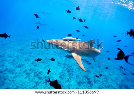Lemon shark swims through fish in Pacific ocean - stock photo