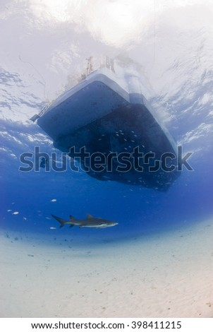 Lemon shark underneath diving boat in clear blue water.