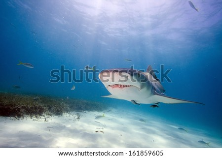 Lemon shark underwater close up portrait  - stock photo