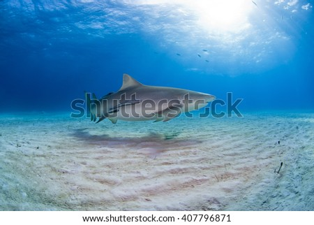 Lemon shark with remoras close to the sand in clear blue water with sun in the background. - stock photo
