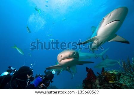 Lemon sharks and underwater photographer - stock photo