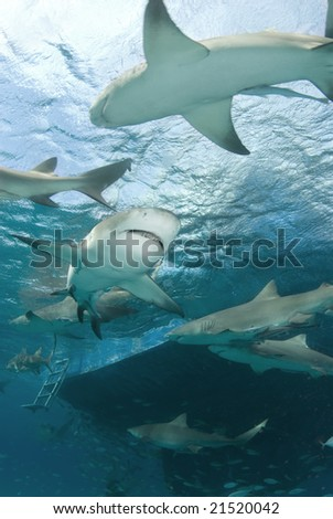 Lemon Sharks (Negaprion brevirostris) circle behind a boat looking for food - stock photo