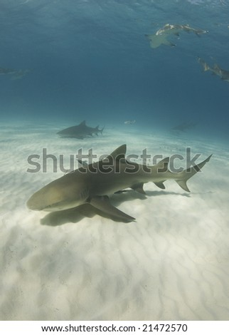 Lemon Sharks (Negaprion brevirostris) cruise through the ocean in search of food - stock photo