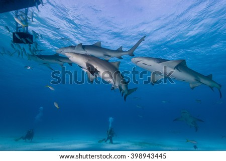 Lemon sharks with scuba divers in clear blue water. - stock photo