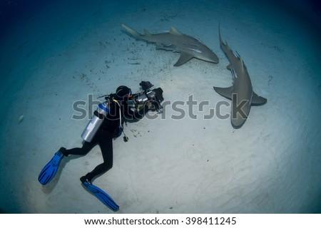Lemon sharks with videographer / photographer in the dusk. - stock photo