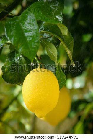 Lemon Tree Branch In The Rain - stock photo