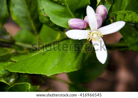 Lemon Tree Flower 8 - stock photo