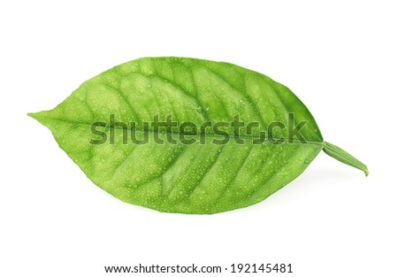 Lemon tree green leaf covered with tiny water drops isolated over the white background