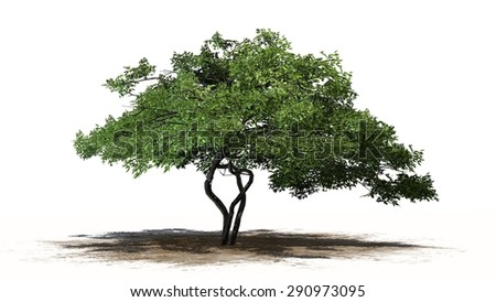 lemon tree - separated on white background