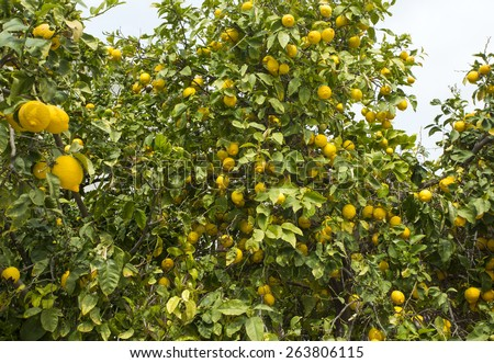 Lemon trees in a citrus grove in Cyprus