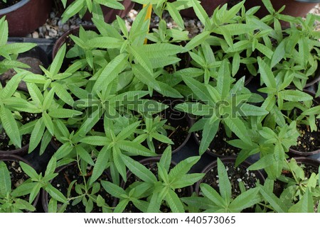 Lemon verbena plant leaves. Aloysia citrodora herb.