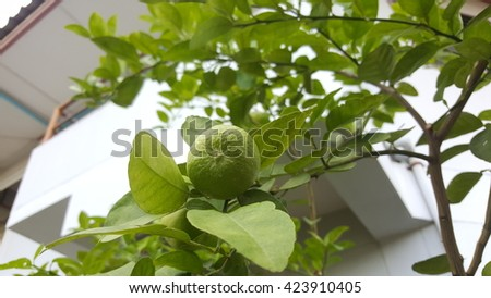 lemon with green leaves - stock photo