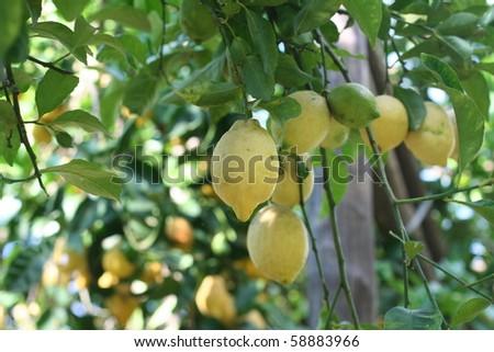 Lemons growing in an Italian orchard - stock photo