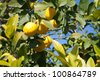 Lemons growing on lemon tree. - stock photo