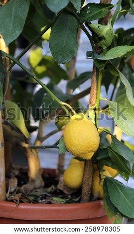 lemons hanging on the tree in the orchard in spring - stock photo