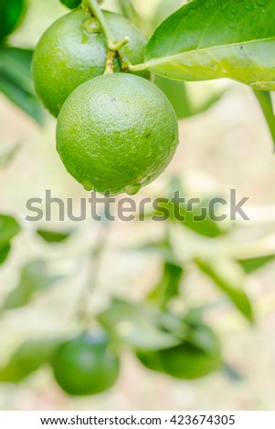 Lemons (limes), green lemons on tree, with water droplets and green lemon fruit blurred background, planted in Thailand. Macro image. - stock photo