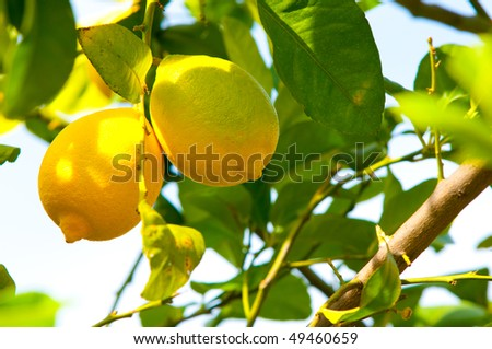 Lemons on lemon tree. - stock photo