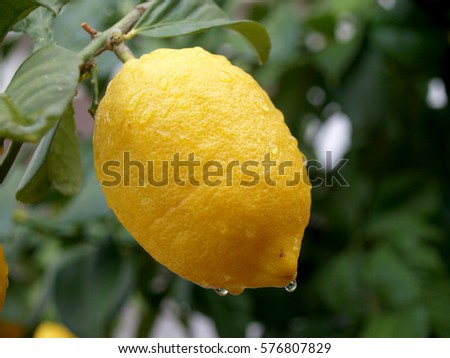 lemons on the branch after the rain