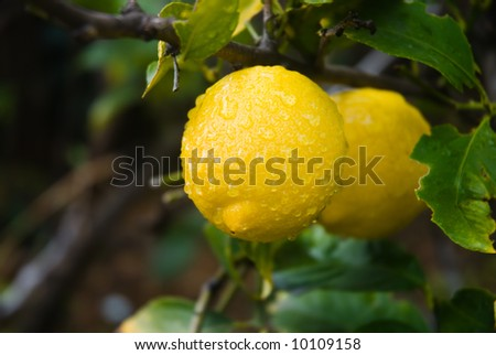 Lemons on the tree after a rainstorm in California