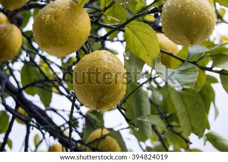 Lemons on the tree with water drops and clouds on background - stock photo