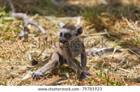 Lemur baby - stock photo
