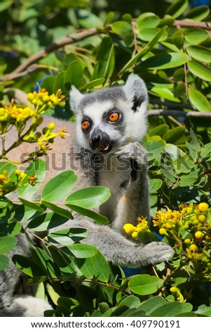 Lemur catta, ring tailed in the wild feeding on yellow flower, Madagascar