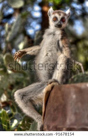lemur catta (ring tailed lemur) sitting - stock photo
