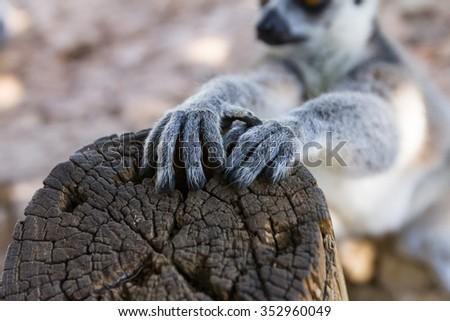Lemur claws, Ring-tailed Lemur (Lemur catta) - stock photo