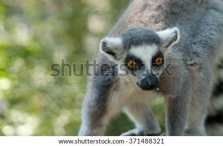 lemur close up portrait - stock photo