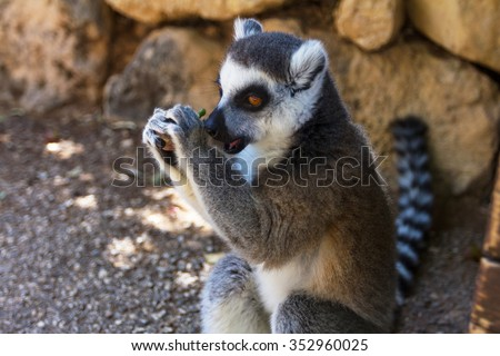 Lemur eat grapes, Ring-tailed Lemur (Lemur catta) - stock photo