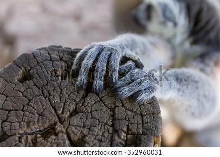 Lemur foot, Ring-tailed Lemur (Lemur catta) - stock photo