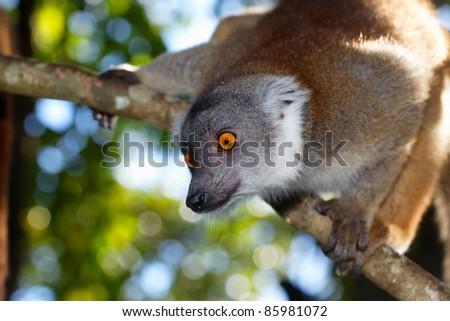 Lemur fulvus, lémurien roux de Madagascar - stock photo