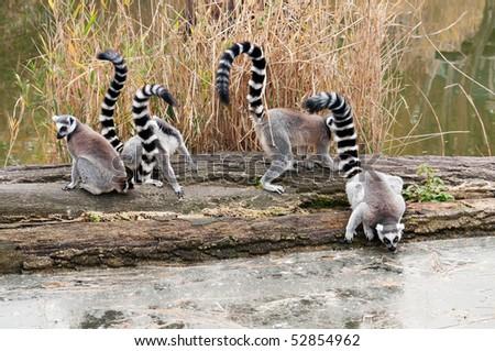 lemur in zoo - stock photo