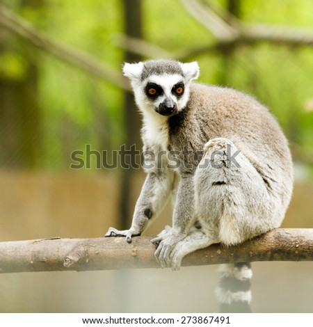 lemur (Lemur catta) - stock photo