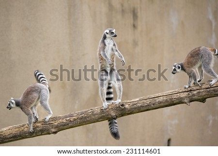 lemur monkey close up portrait - stock photo