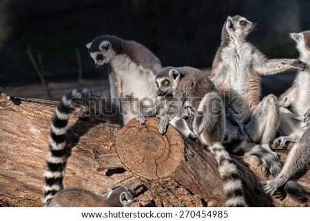 lemur monkey family on a tree - stock photo