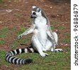 Lemur of ring-shaped tail taking up a curious pose - stock photo