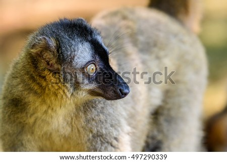 Lemur Portrait On Madagascar Island