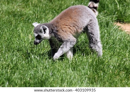 lemur walking