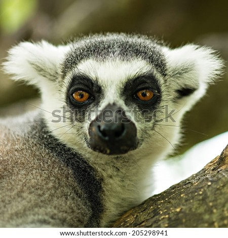 Lemuriformes is an infraorder of primate that falls under the suborder Strepsirrhini. It includes the lemurs of Madagascar, as well as the galagos and lorisids of Africa and Asia - stock photo
