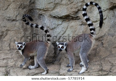 lemurs - stock photo