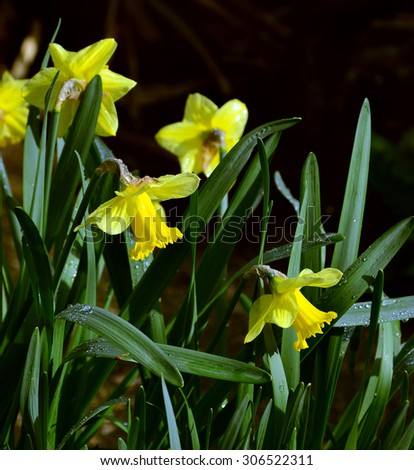lent lily on a dark background in a garden - stock photo