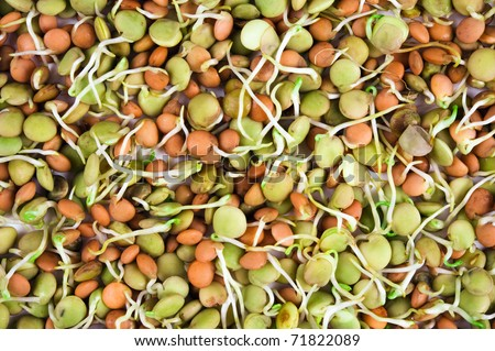 lentil seeds with sprouts isolated on white - stock photo