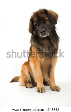 Leonberger - stock photo