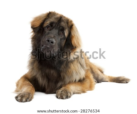 Leonberger (10 months old) in front of white background - stock photo