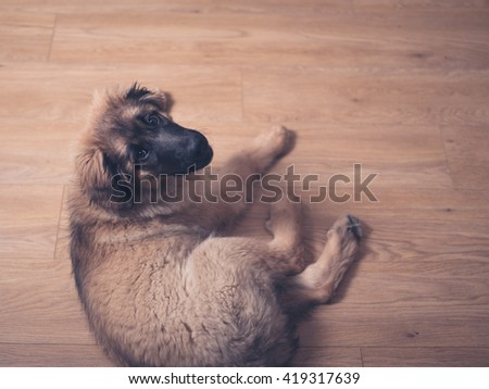 Leonberger puppy on the floor looking up - stock photo