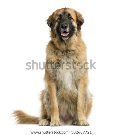 Leonberger sitting in front of a white background - stock photo